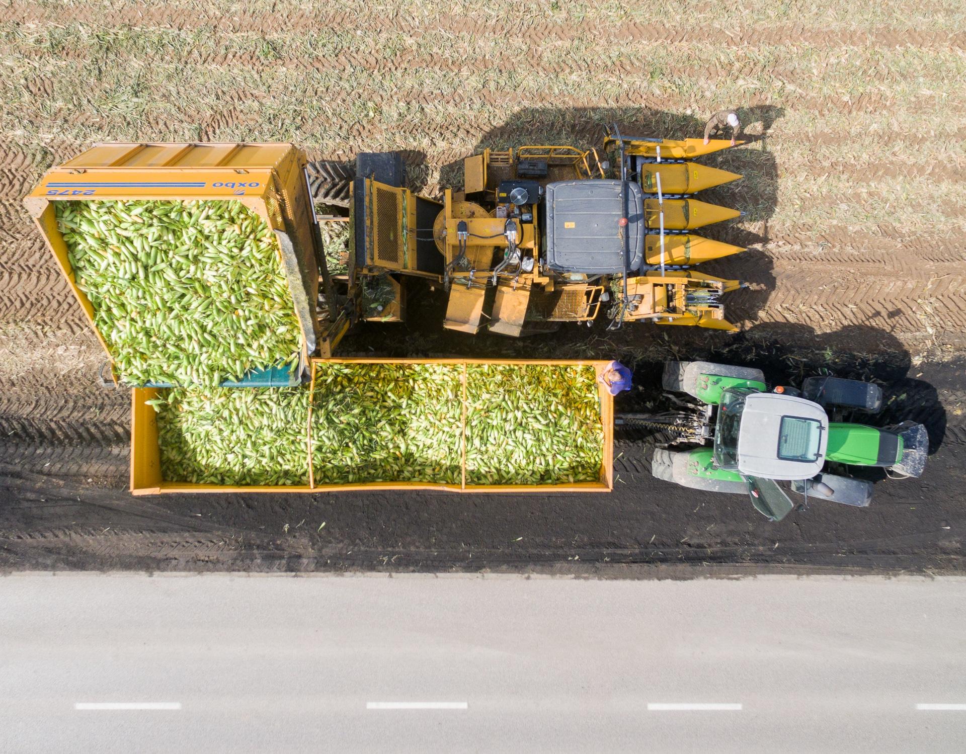 Żniwa kukurydzy