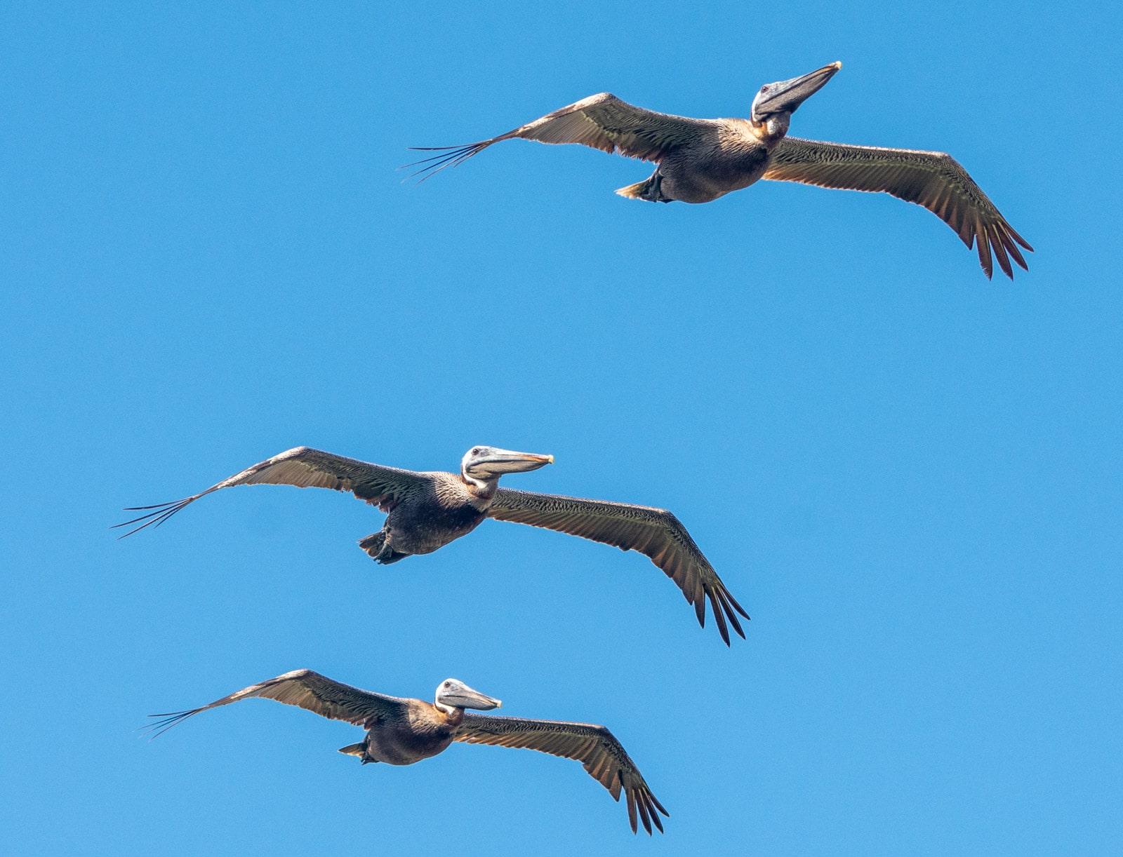 Pelikany na Florydzie