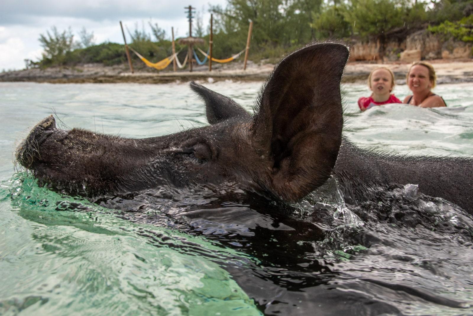 Świnki na Bahamach