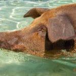 Świnie na Bahamach
