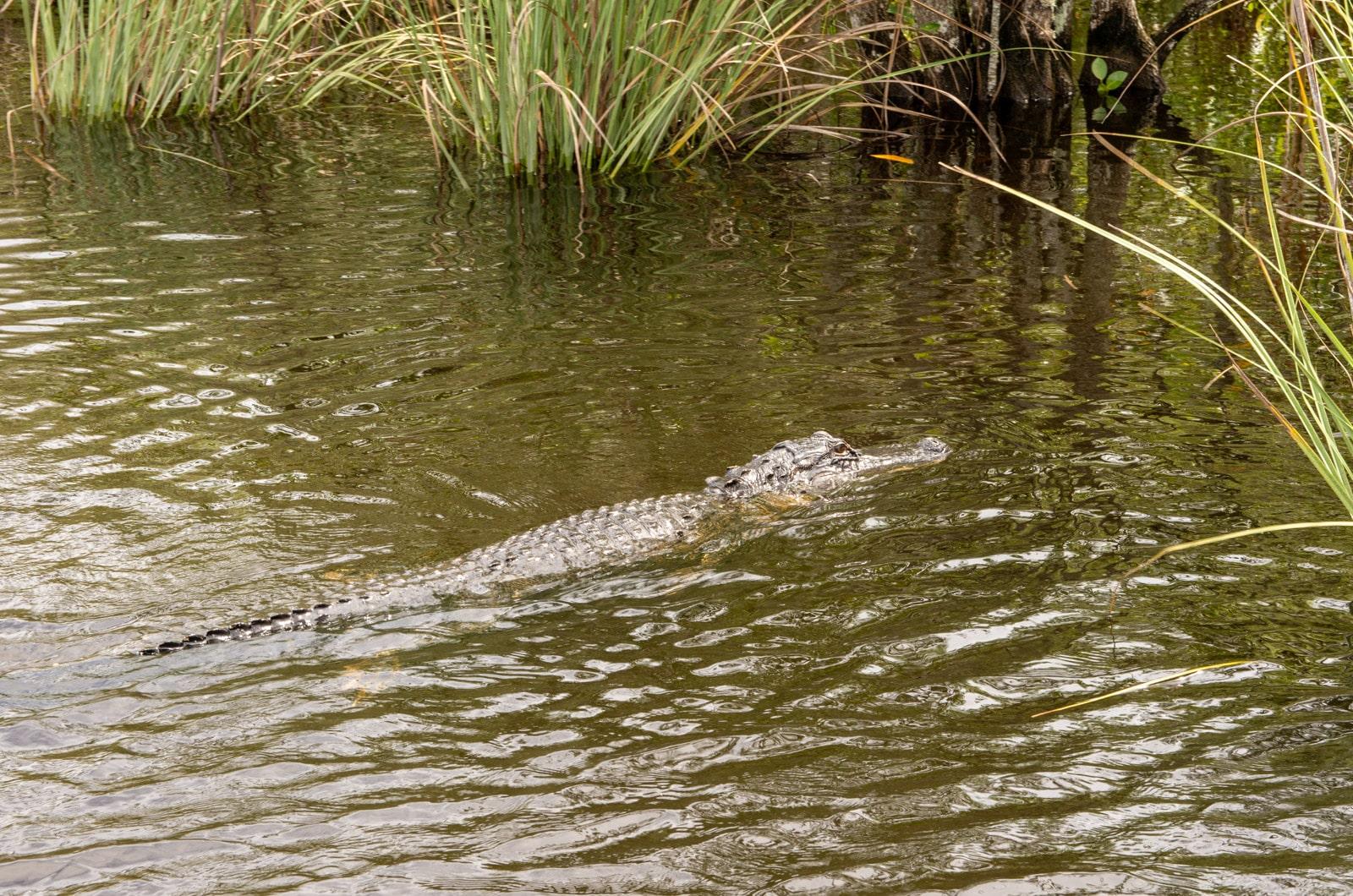 Krokodyl w Everglades