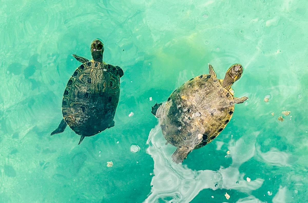 Żółwie w cenote