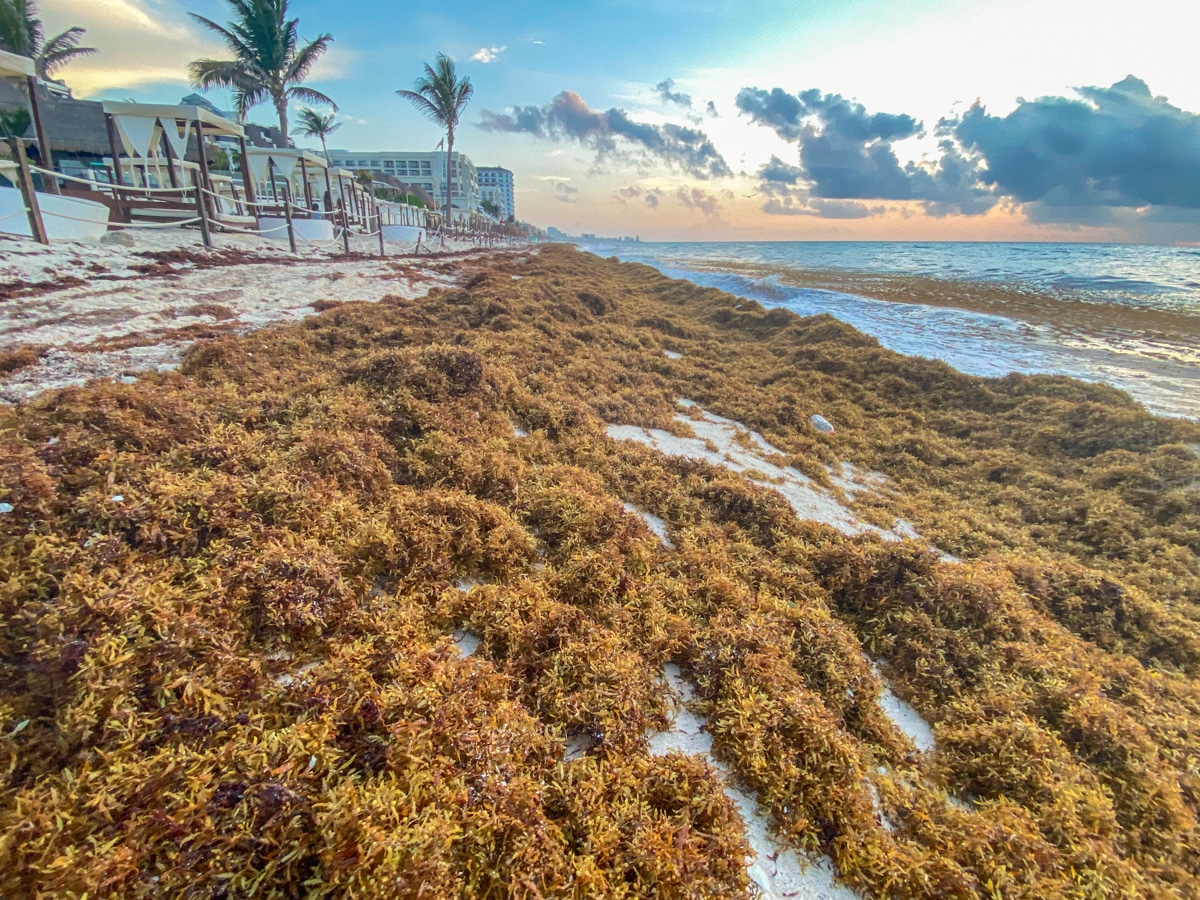 Sargasso na Jukatanie